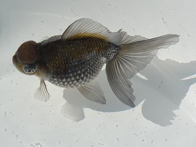 2012品評会優勝魚