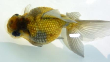穂竜H24研究会当歳魚