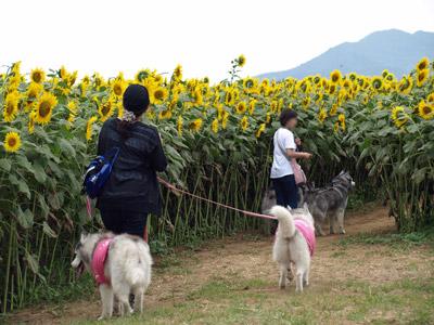 明野のひまわり畑