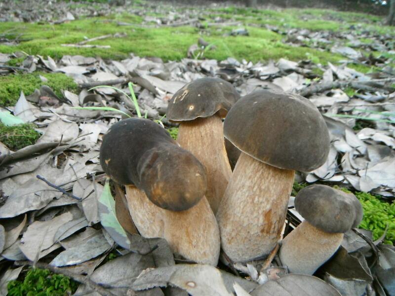 ヤマドリタケモドキの幼菌