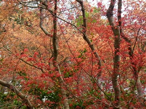 きれぎれの風彩 「春モミジの紅葉」1-1