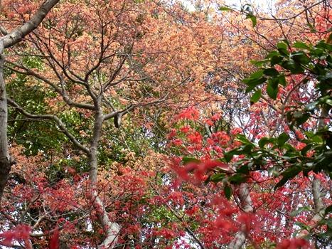 「カエデ ~春モミジの紅葉」