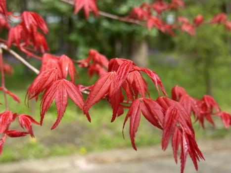 きれぎれの風彩 「春モミジの紅葉」1-7