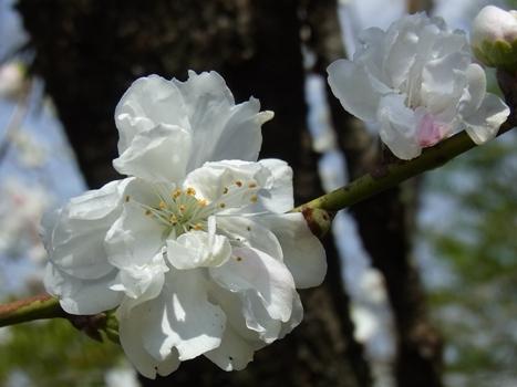 「ホウキモモ ~箒状の樹形に八重花」