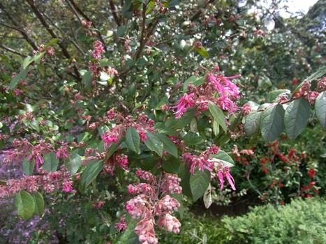 「ベニバナトキワマンサク ~紅色リボンの花弁(1)」