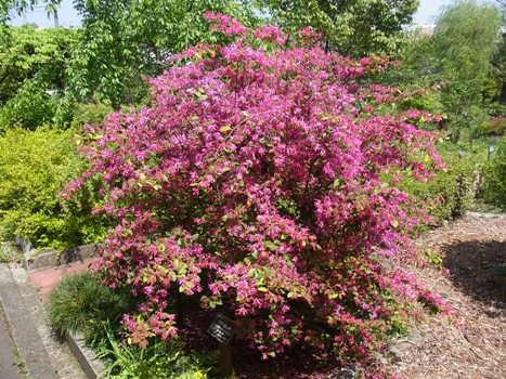 「ベニバナトキワマンサク ~紅色リボンの花弁(2)」