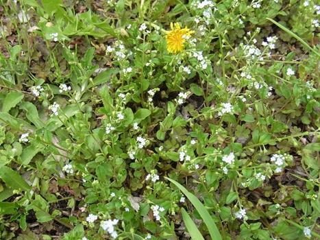 「キュウリグサ ~とても小さく可憐な淡青花(1)」