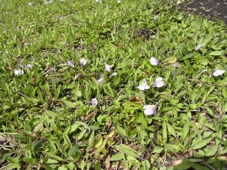 「ムラサキサギゴケ ~地表を覆う葉と唇形の花(1)」