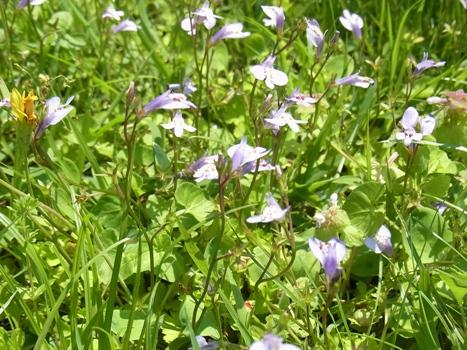 「ムラサキサギゴケ ~地表を覆う葉と唇形の花(3)」