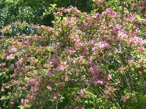 「タニウツギ ~細く拡がるピンクのラッパ」