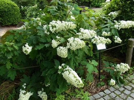 「カシワバアジサイ ~八重の花・円錐形の花房」