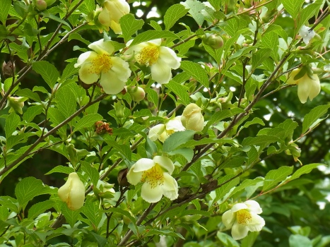 「ヒコサンヒメシャラ ~英彦山の花>姫沙羅の花」