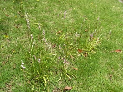 「ネジバナ ~芝生の中のネジバナ」