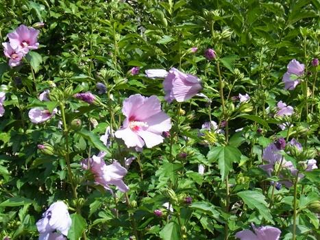 「ムクゲ~蕾と花/萼と副萼」
