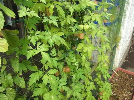 「フウセンカズラ ~膨らむ果実は緑から茶」
