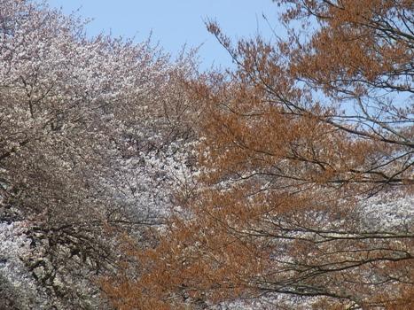 「アカシデ ~春の花序」