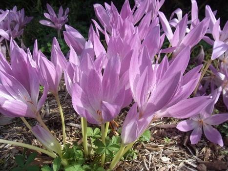 「コルチカム(イヌサフラン)~葉のない大きな花が」