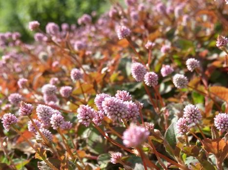 「ヒメツルソバ ~ほふく性・花期の長い球状花(1)」