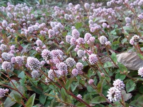 「ヒメツルソバ ~ほふく性・花期の長い球状花(2)」