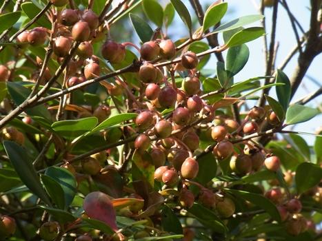 「モッコク ~鈴なり果実と放射状の葉」