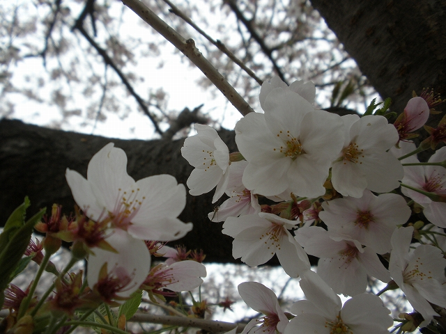 2013桜 2