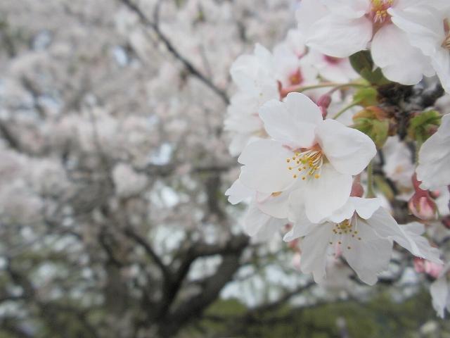 2013桜 3