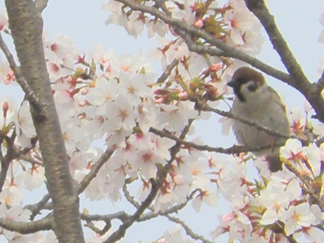 2013桜 4鳥
