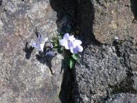 朝熊山の磐座の間に咲くスミレ