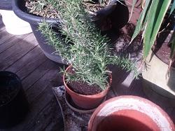 2 Rosemary