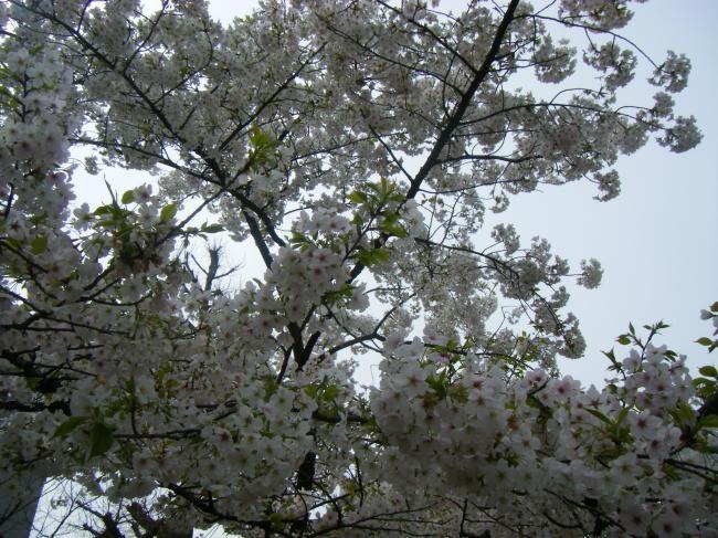新しいイメージ桜1