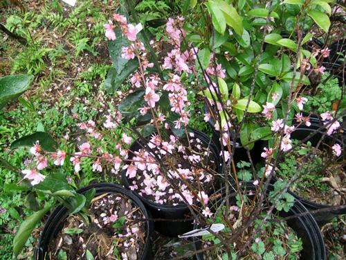 2012.4.23 春の庭の花たち 006