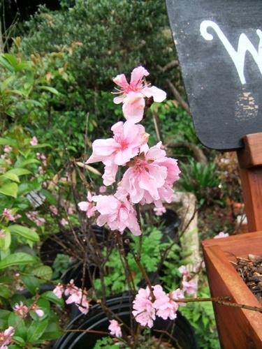 2012.4.23 春の庭の花たち 005