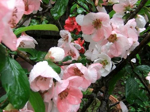 2012.4.23 春の庭の花たち 002