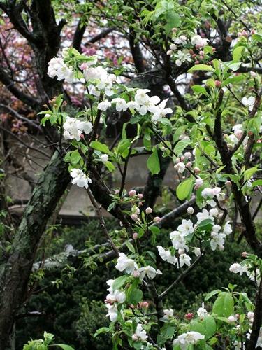 2012.4.23 春の庭の花たち 012