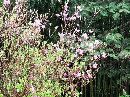 2012.4.23 春の庭の花たち 007