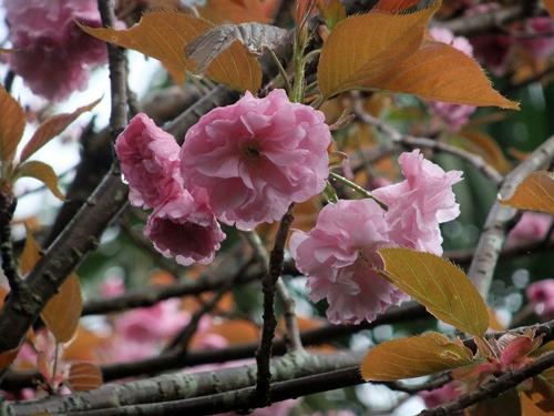 2012.4.23 春の庭の花たち 017