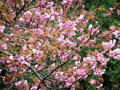 2012.4.23 春の庭の花たち 016