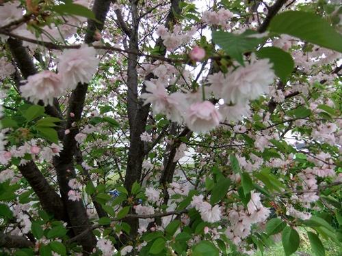 2012.4.28 春のふるさと歩き 034 (13)