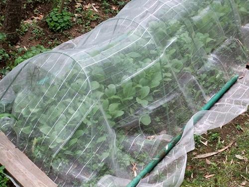 2012.5.22 裏庭(野菜) 013 (2)