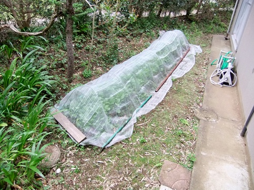2012.5.22 裏庭(野菜) 013 (1)