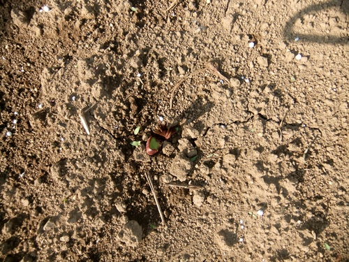 2012.6.1 初夏の野菜畑(第2回) 037 (3)