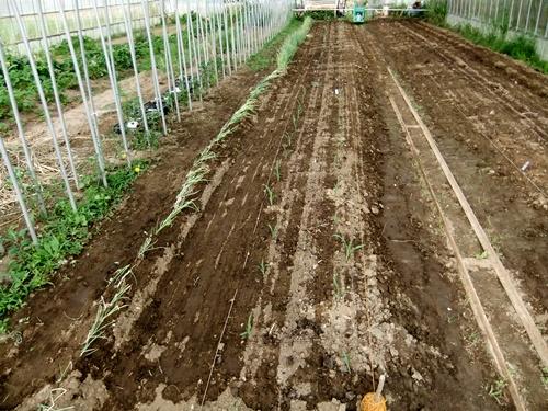 2012.6.1 初夏の野菜畑(第2回) 037 (12)