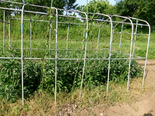 2012.6.1 初夏の野菜畑(第2回) 037 (8)