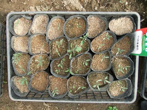 2012.6.1 初夏の野菜畑(第2回) 037 (18)