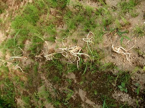2012.6.1 初夏の野菜畑(第2回) 037 (17)