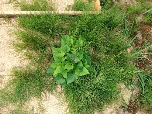 2012.6.1 初夏の野菜畑(第2回) 037 (15)