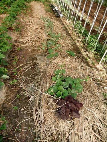 2012.6.1 初夏の野菜畑(第2回) 037 (14)