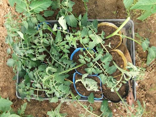 2012.6.1 初夏の野菜畑(第2回) 037 (21)