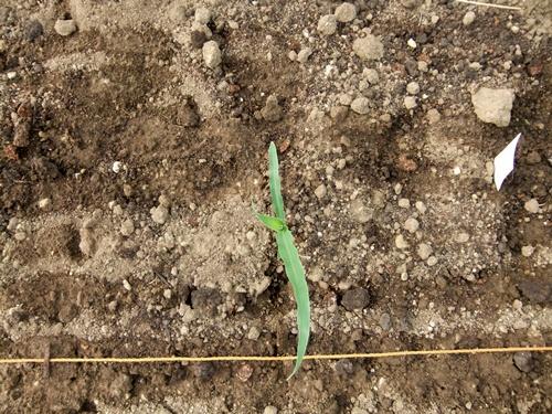 2012.6.1 初夏の野菜畑(第2回) 037 (26)