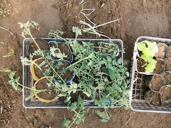 2012.6.1 初夏の野菜畑(第2回) 037 (36)